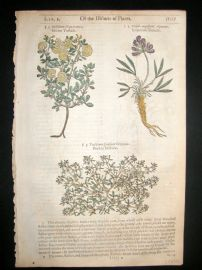 Gerards Herbal 1633 Hand Col Botanical Print. Strawberry, Liqourice Trefoil